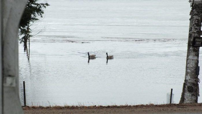 canada geese swim in rain - oxtongue lake - ontario