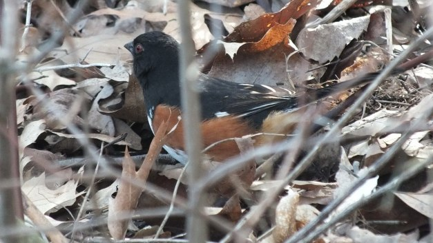 Eastern towhee among leaves at Beamer Memorial Conservation Area in Grimsby, Ontario