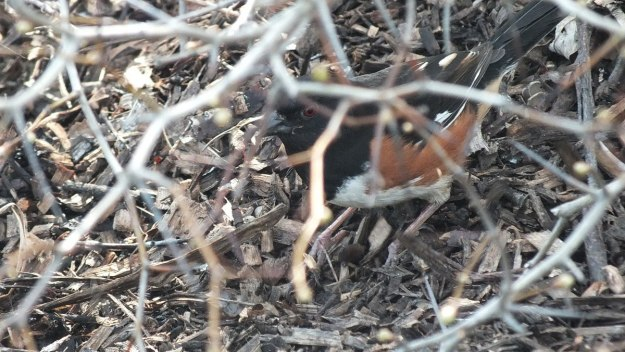 eastern towhee - looks at me from thicket - Beamer Memorial Conservation Area - Grimsby - Ontario