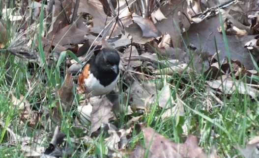 eastern towhee - looks for bugs - Beamer Memorial Conservation Area - Grimsby - Ontario