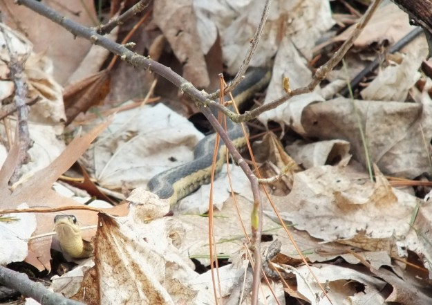 garter snake in world of leaves checks me out - thicksons woods - whitby