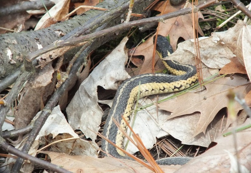 garter snake moves among leaves at nest - thicksons woods - whitby