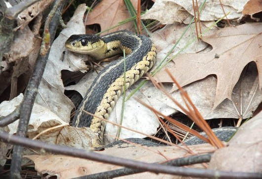 garter snake sits among pine needles and studies me - thicksons woods - whitby