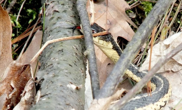 garter snake sticks out its tongue - thicksons woods - whitby