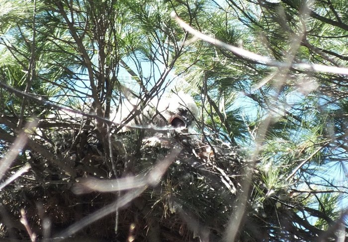 great horned owl chick eats something in its nest in thicksons woods