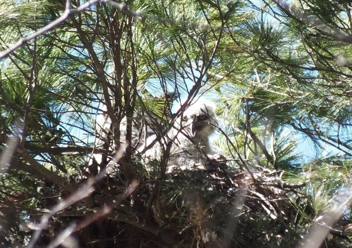 great horned owl chick gives me a big smile in nest