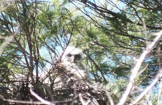 great horned owl chick sits in nest - thicksons woods