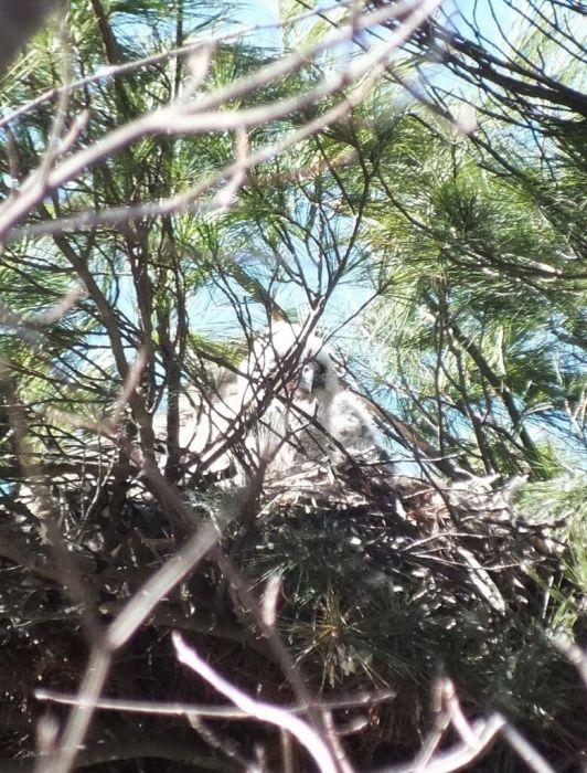 great horned owl chick's peak
