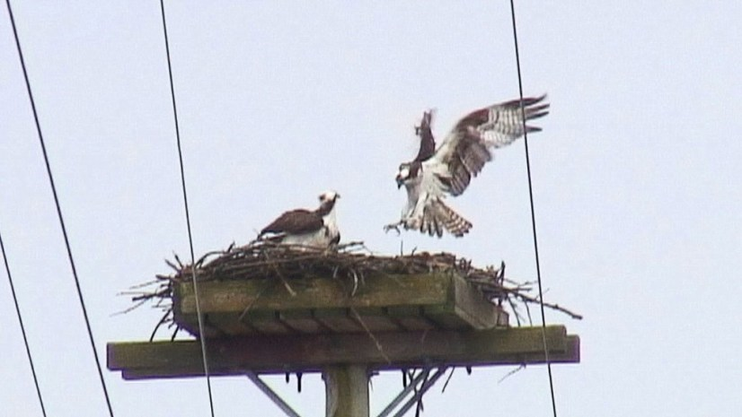 osprey holds feet out front to land in nest - Youngs Point - Ontario - Canada