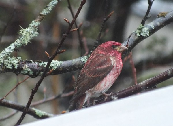 purple finch - looks ahead - oxtongue lake - ontario