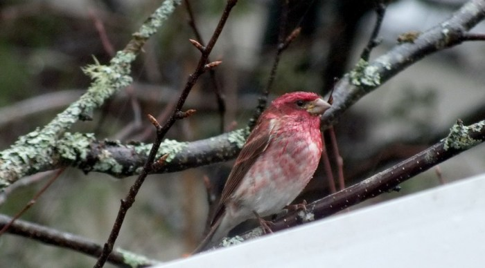 purple finch on tree - oxtongue lake - ontario
