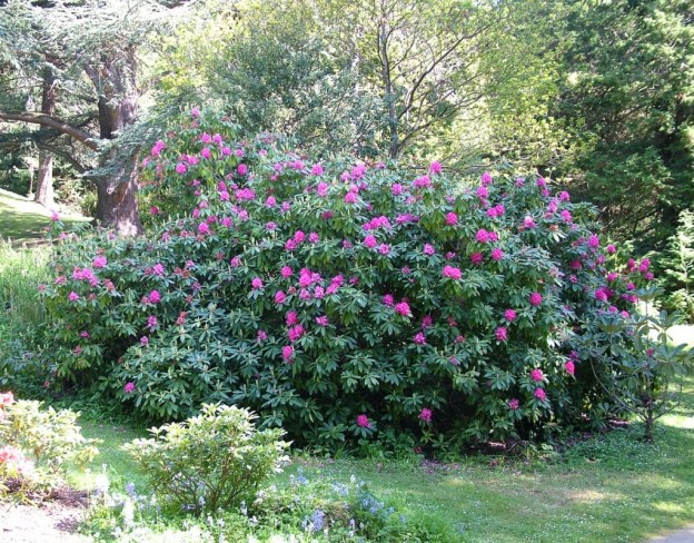 rhododendron bush - powerscourt - wicklow - ireland