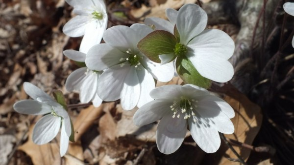 sharp-lobed Hepatica Closeup, Cootes Paradise, Burlington