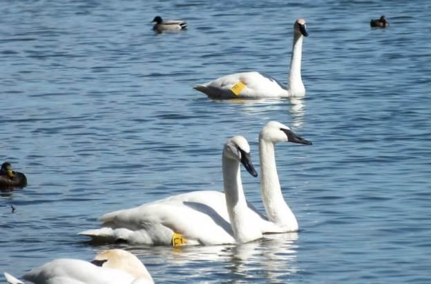 trumpeter swans at la salle park in hamilton harbour