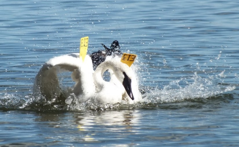 trumpeter swan drags wings through water