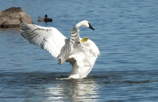 trumpeter swan stands tall in water and holds up its wings