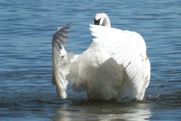 trumpeter swan holds its wings in front of its body