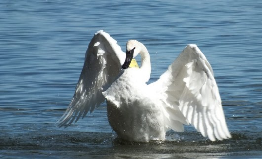trumpeter swan holds wings up and looks at me