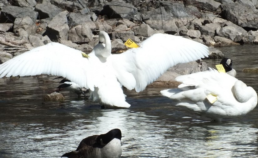 trumpeter swan holds its wings wide open at la salle park