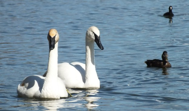 trumpeter swans look towards camera at la salle park
