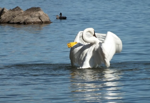trumpeter swans with wings in front at la salle park - hamilton