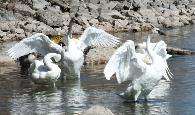 two trumpeter swans hold up wings at la salle park - Hamilton