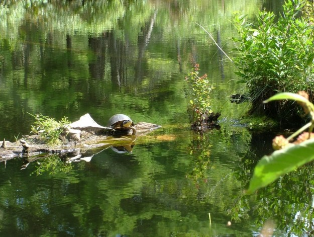 Blanding's turtle - sits on log - frontenac provincial park - ontario - canada