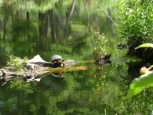 Blanding's turtle - sits on log - frontenac provincial park - ontario - canada