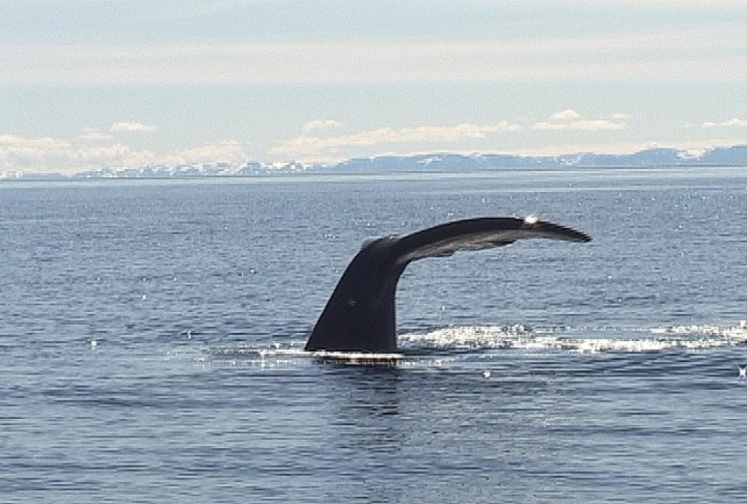 Bowhead whale dives off baffin island - nunavut - canada