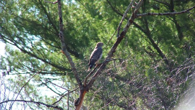 Broad-winged hawk sitting in a tree near Dorset in Ontario, Canada.