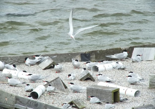 Common Tern - flies above reef raft - tommy thompson park - toronto