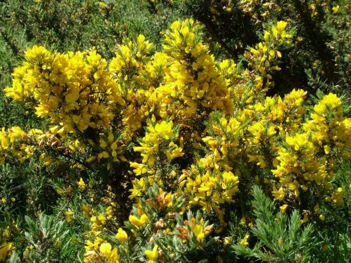 Gorse growing near Lackandarragh Lower - Wicklow - Ireland