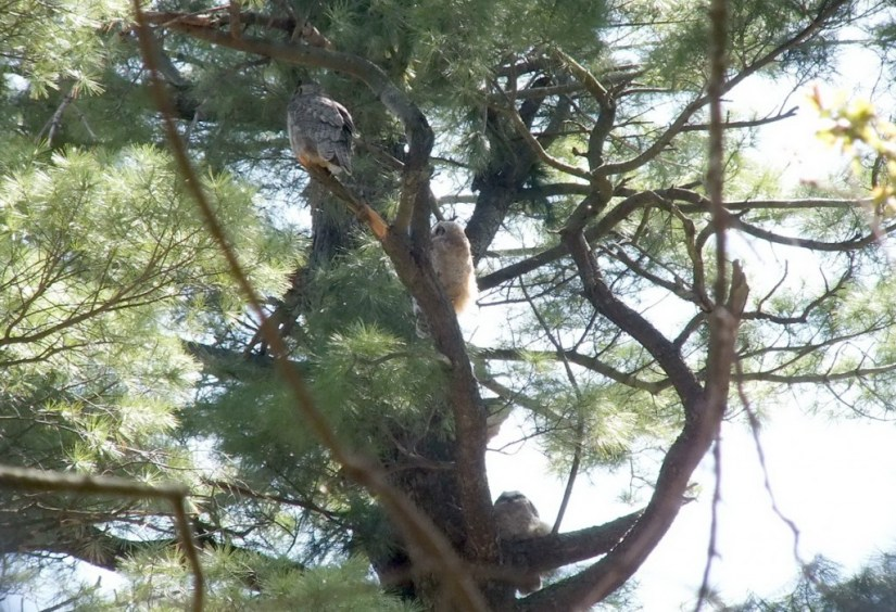 Great Horned Owl, baby 1, baby 2 and mother, Thicksons Woods, Whitby, Ontario