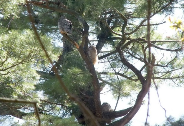 Great Horned Owl - baby 1 and baby 2 sit below mother in tree - Thicksons Woods - Whitby - Ontario