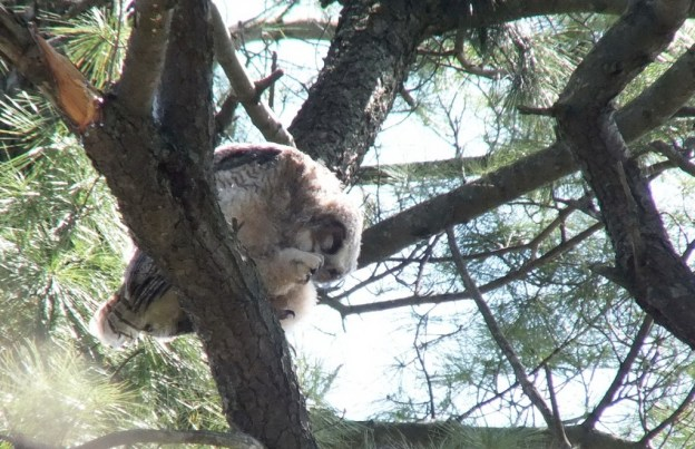 Great Horned Owl - baby 1 cleans feet on tree limp - Thicksons Woods - Whitby - Ontario