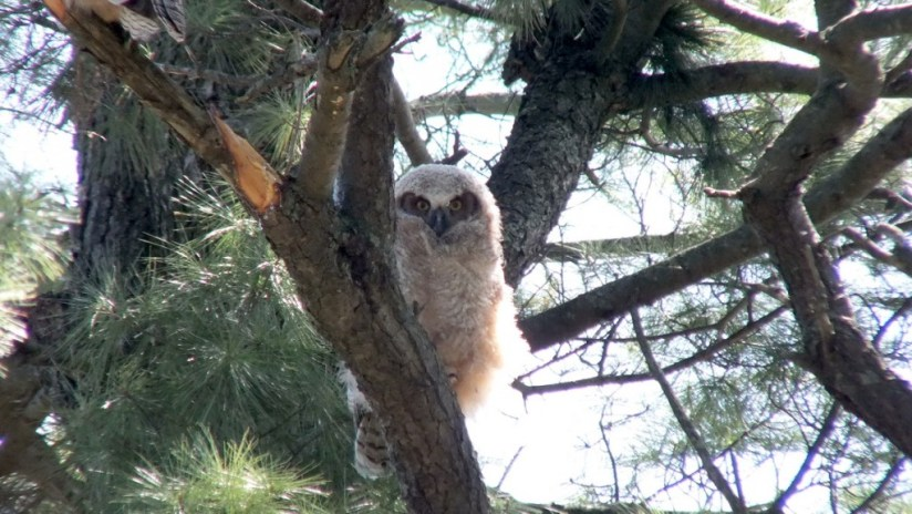 Great Horned Owl - baby 1 looks at me - Thicksons Woods - Whitby - Ontario
