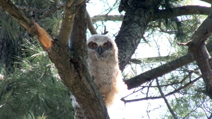 Great Horned Owl, baby 1, Thicksons Woods, Whitby, Ontario