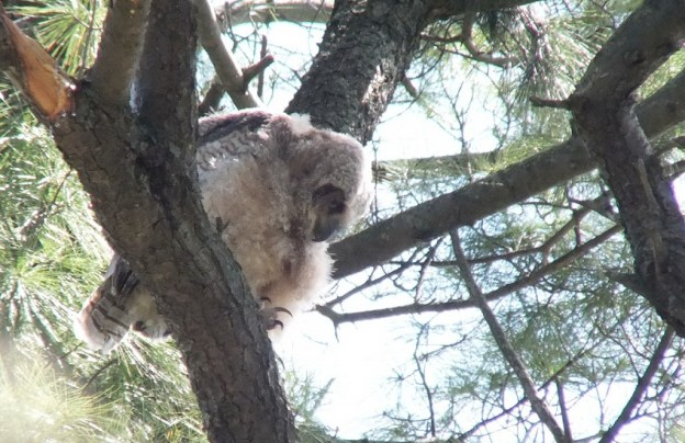 Great Horned Owl - baby 1 looks down from tree - Thicksons Woods - Whitby - Ontario