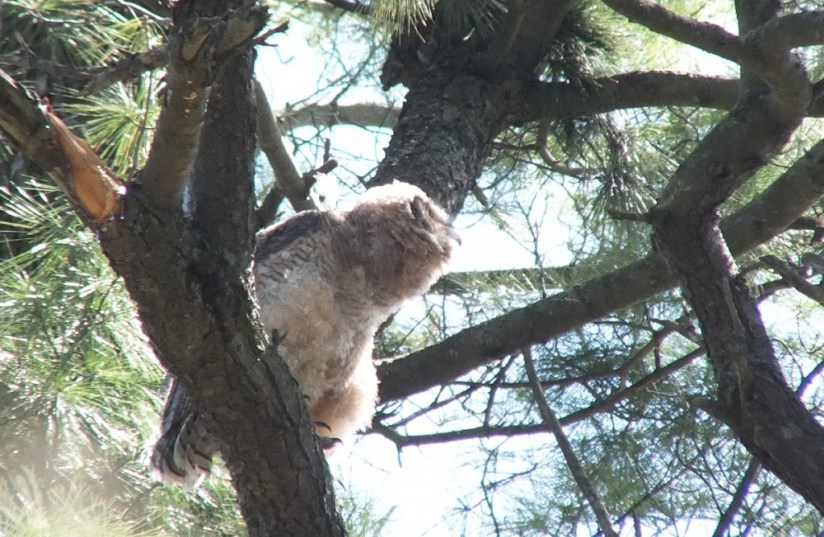 Great Horned Owl - baby 1 looks to horizon from tree limp - Thicksons Woods - Whitby - Ontario