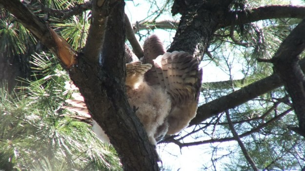 Great Horned Owl - baby 1 shakes wings - Thicksons Woods - Whitby - Ontario