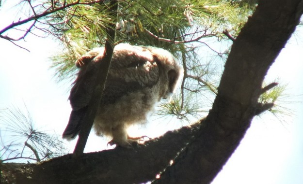 Great Horned Owl - baby 2 on lower tree limp with long nails - Thicksons Woods - Whitby - Ontario