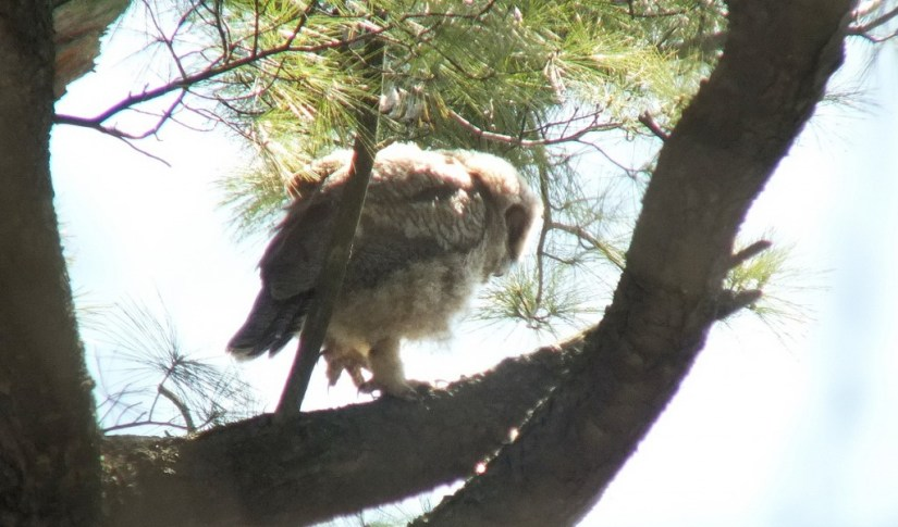 Great Horned Owl baby, Thickson's Woods, Whitby, Ontario