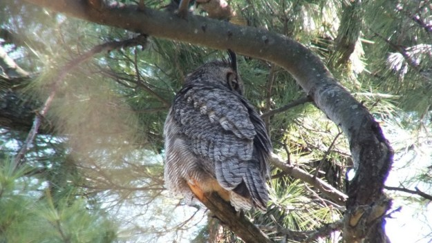 Great Horned Owl - mother looks at babies in tree - Thicksons Woods - Whitby - Ontario