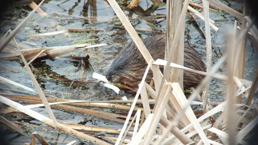 Muskrat - chews on fresh plant root - Cranberry Marsh - Lynde Shores Conservation Area