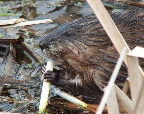 Muskrat - enjoys a big bite of a fresh plant root - Cranberry Marsh - Lynde Shores Conservation Area