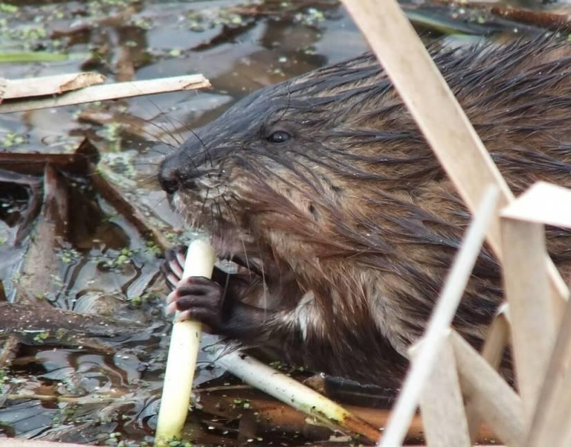 Muskrat - enjoys a big bite of a fresh plant root - Cranberry Marsh - Lynde Shores Conservation Area