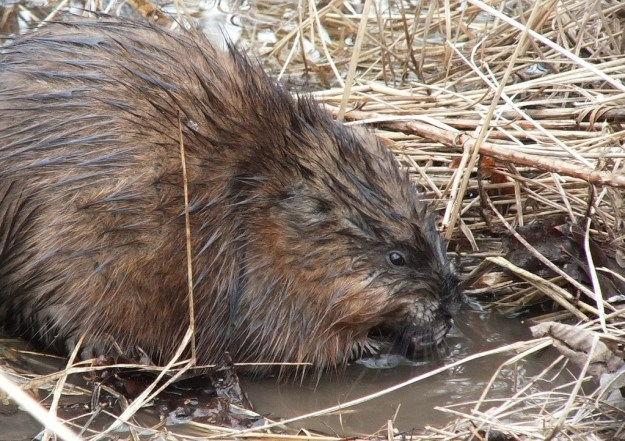 Muskrat holds a stick in its hands - Cranberry Marsh - Lynde Shores Conservation Area
