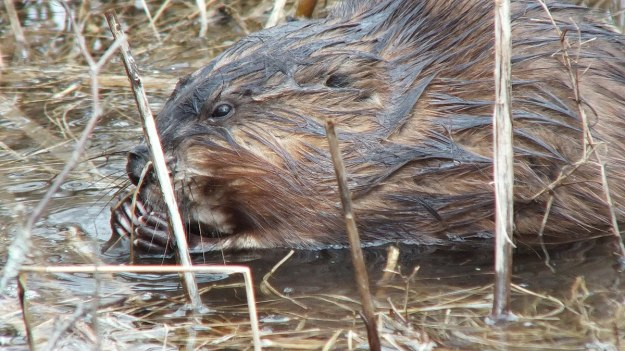 Muskrat - long finger nails hold a stick - Cranberry Marsh - Lynde Shores Conservation Area