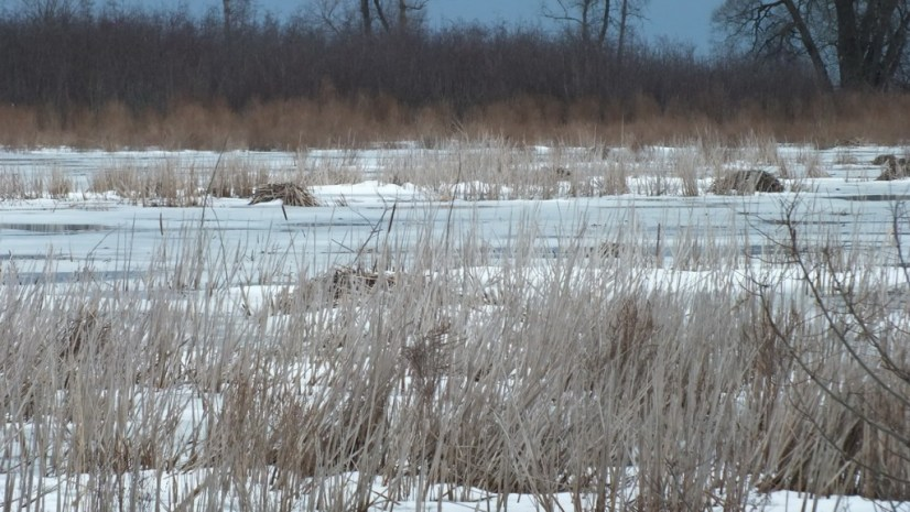 Muskrat mounds - West Cranberry Tract - Whitby - Ontario