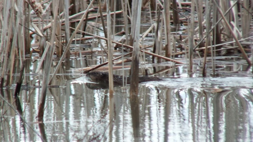 Muskrat - swims through marsh - Cranberry Marsh - Lynde Shores Conservation Area